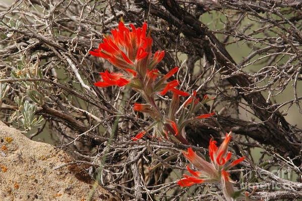 Brush Art Print featuring the photograph Indian Paint Brush by Greg Payne