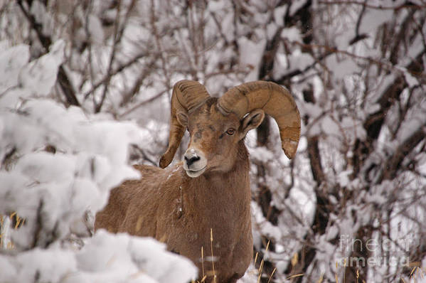 Big Horn Sheep Art Print featuring the photograph Late Winter Big Horns by Greg Payne