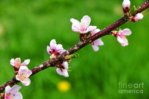 Peach Tree Blossoms Art Print featuring the photograph Peach Tree Blossoms by Thomas R Fletcher