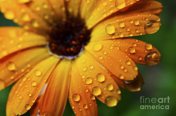 Orange Art Print featuring the photograph Rainy Day Daisy by Thomas R Fletcher