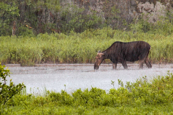 Moose Art Print featuring the photograph The Downpour by Linda McRae