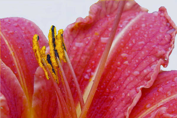 Nature Art Print featuring the photograph Anthers by Robert OP Parrish