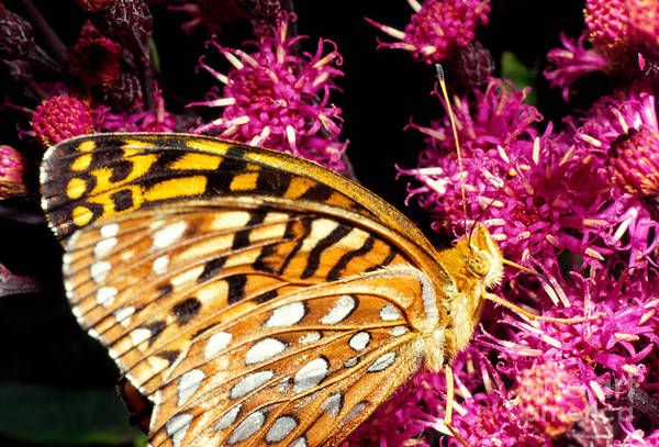 Meadow Fritillary Art Print featuring the photograph Meadow Fritillary by Thomas R Fletcher