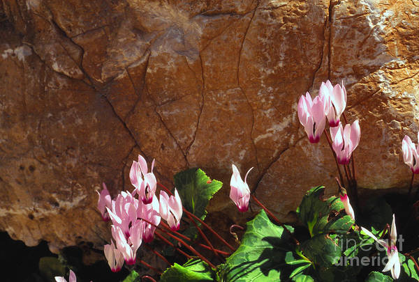 Israel Art Print featuring the photograph Persian Cyclamen by Thomas R Fletcher