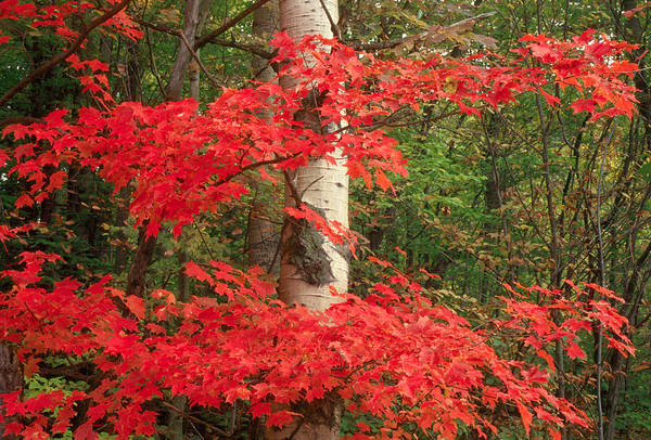 Fall Art Print featuring the photograph Red Maple by Raju Alagawadi