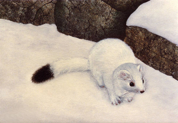 Wildlife Art Print featuring the painting Ermine In Winter by Frank Wilson