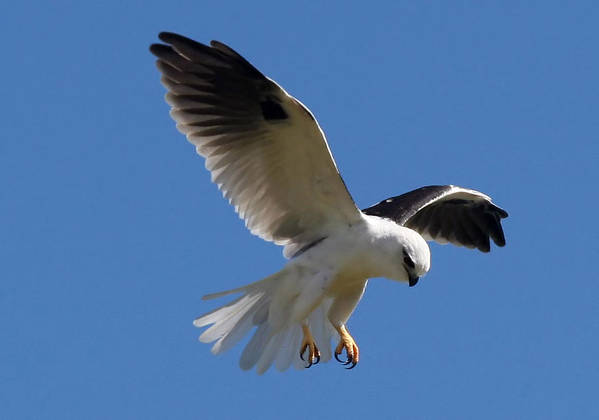 Osprey Art Print featuring the photograph Black-shouldered Kite by Tony Brown