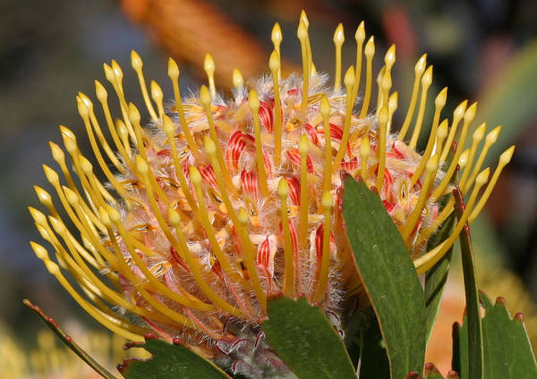 Plant Art Print featuring the photograph Leucospermum Muirii by Tony Brown