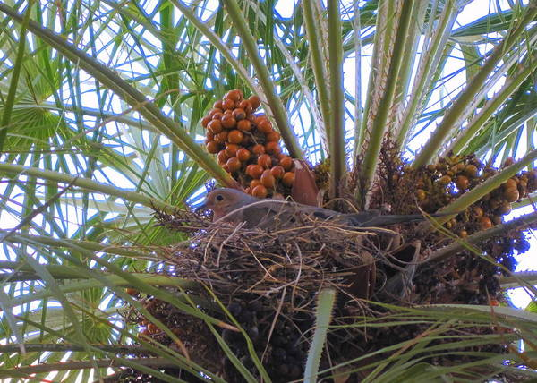 Dove Art Print featuring the photograph Nesting Dove by Lessandra Grimley