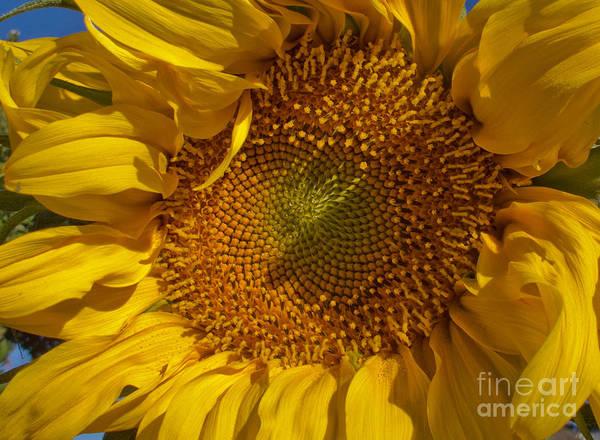 Sunflower Art Print featuring the photograph A Burst Of Sun by Arlene Carmel