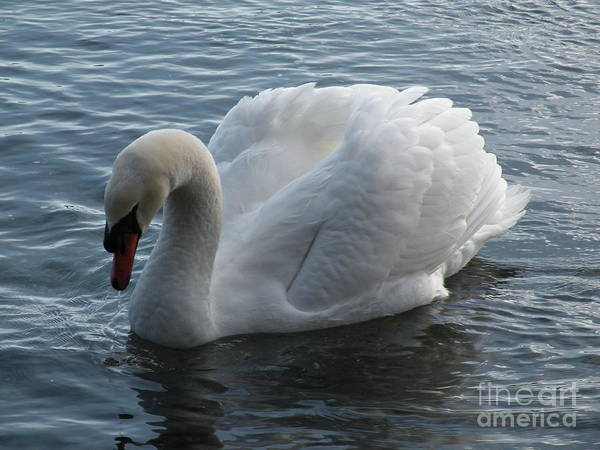 Swan Art Print featuring the photograph Swan by Val Carosella