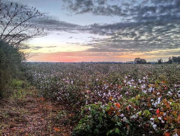 Living In High Cotton Print featuring the photograph Cotton Sunrise by JC Findley