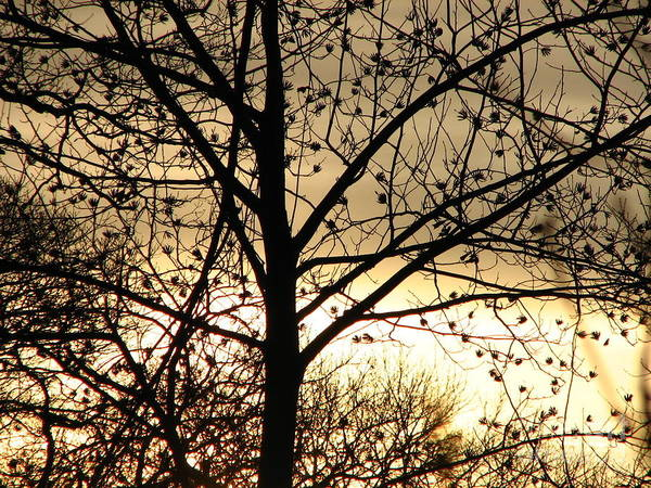 Trees Art Print featuring the photograph Gold Sunset by Roxy Riou