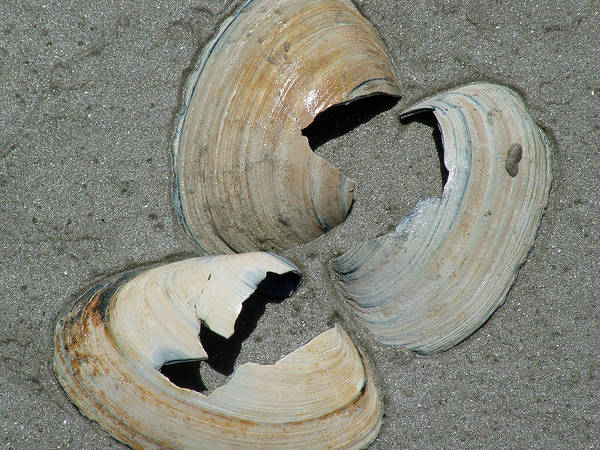 Art Print featuring the photograph Three Shells by Fredrik Ryden