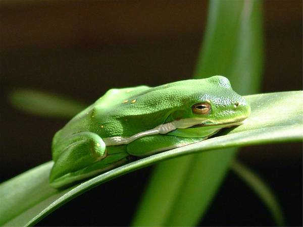 Frog Art Print featuring the photograph Florida Tree Frog by Ned Stacey