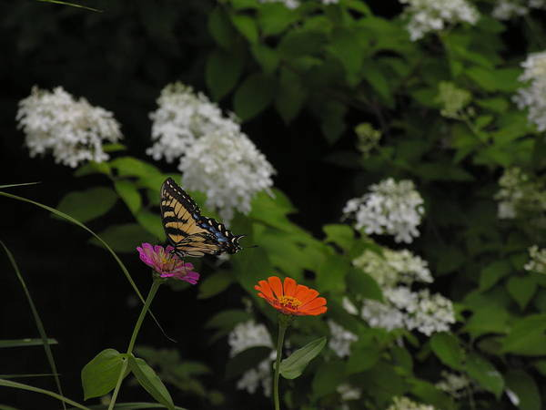 Butterfly Art Print featuring the photograph Lingering by Anna Dubon