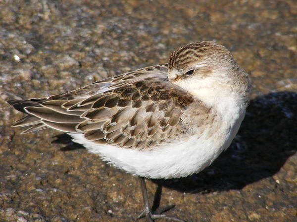 Sandpiper Art Print featuring the photograph Sandpiper by Doug Mills