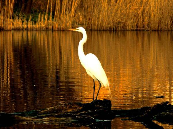 Egret Art Print featuring the photograph Standing Proud by Kendall Eutemey