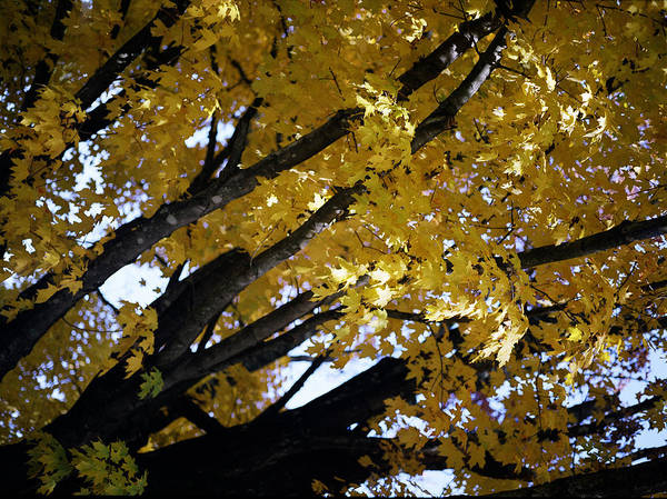Trees Art Print featuring the photograph Study For Autumn 3 by Steve Parrott