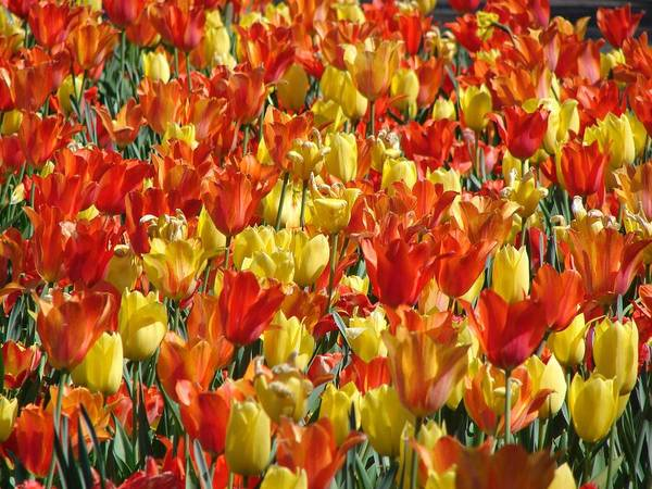 Landscape Art Print featuring the photograph Tulip Delight 1 by Shiana Canatella