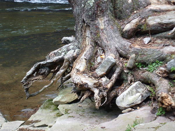 Water Art Print featuring the pyrography Water Tree Roots by Carla Russell