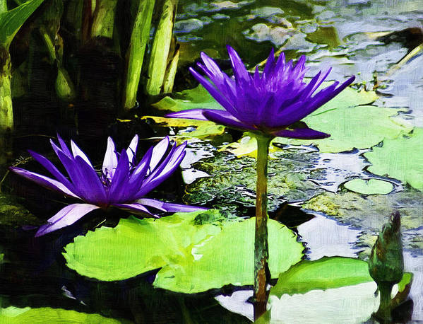 Flower Art Print featuring the photograph Purple Water Lilies by D W Steinbarger