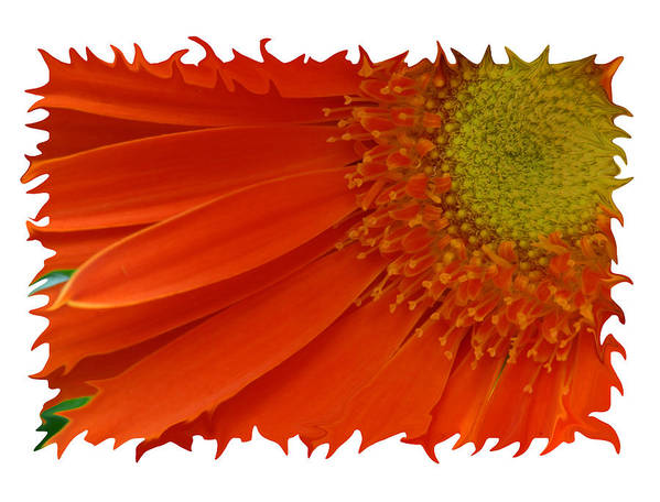 Gerber Daisy Orange Yellow Digital Art Photograph Photography Photographer Flower Plant Nature Art Print featuring the photograph Wild Daisy by Shari Jardina