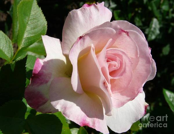 Rose Art Print featuring the photograph Springtime Has Sprung by Kendall Eutemey