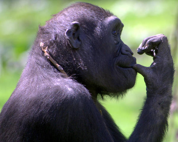 Monkey Art Print featuring the photograph Monkey Thinking by April Holgate