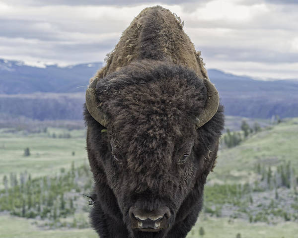 Bison Art Print featuring the photograph Bison by Christopher Rok