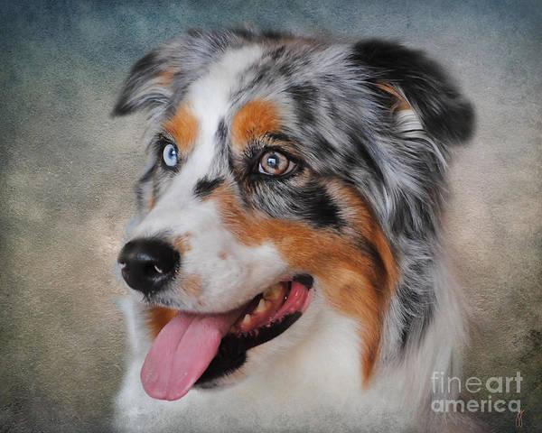 Animal Art Print featuring the photograph Blue Merle Australian Shepherd by Jai Johnson
