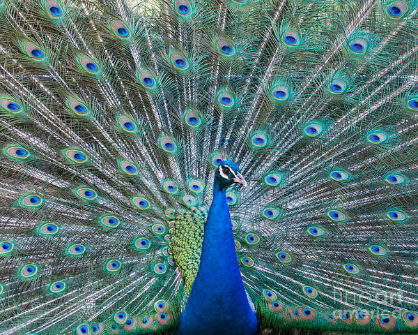 Peacock Art Print featuring the photograph Peacock Display by Dale Nelson
