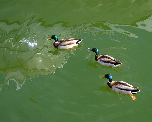 Ducks Art Print featuring the photograph Ducks In A Row by Jon William Lopez