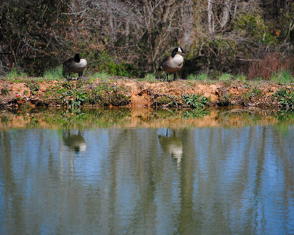 Goose Art Print featuring the photograph Reflections by Jai Johnson
