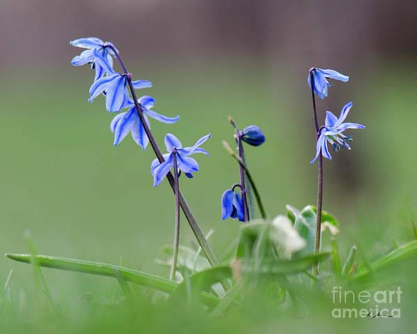 Blue Flowers Art Print featuring the photograph Awaken by Lisa Larson