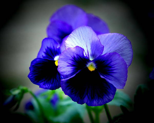 Pansy Art Print featuring the photograph Purple Pansy - 8x10 by B Nelson