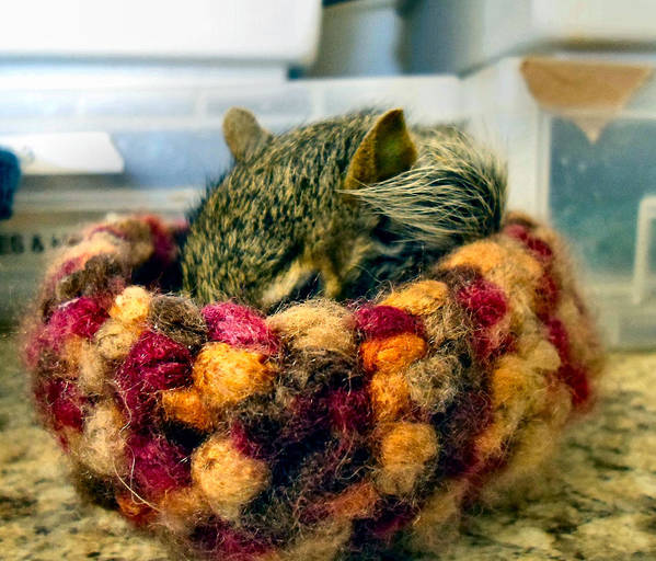 Squirrel Art Print featuring the photograph Bug In A Rug by Art Dingo
