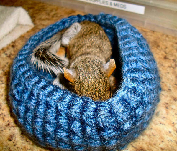 Squirrel Art Print featuring the photograph Sleepy Time by Art Dingo