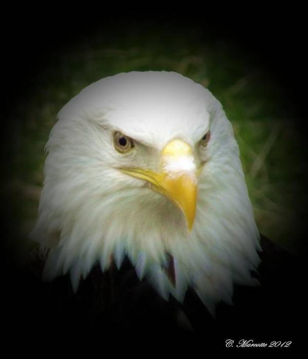 Eagle Art Print featuring the photograph Dignified by Cindy Marcotte