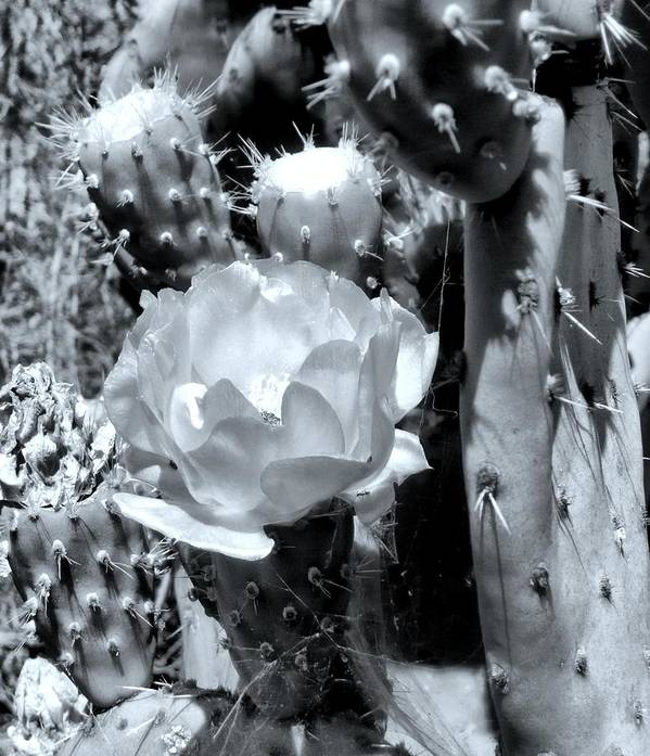 Cactus Art Print featuring the photograph Beauty Amongst Pain by E White