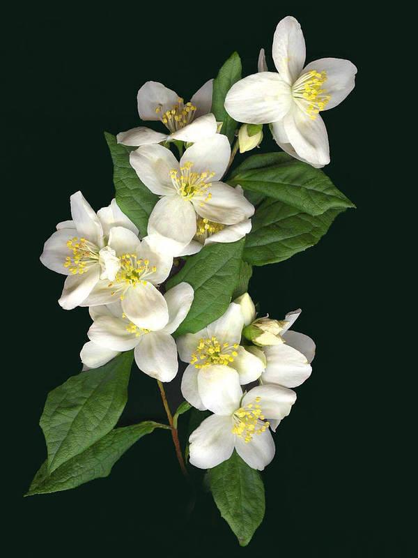 White Flowers Art Print featuring the photograph Mock Orange by Sandi F Hutchins