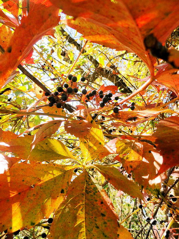 Leaves Print featuring the photograph The Beauty In Dying by Trish Hale