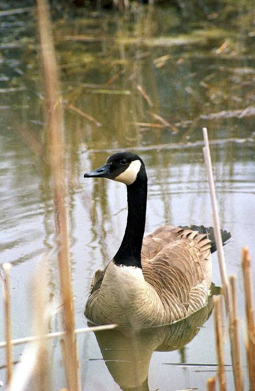Canada Goose Art Print featuring the photograph 070406-41 by Mike Davis