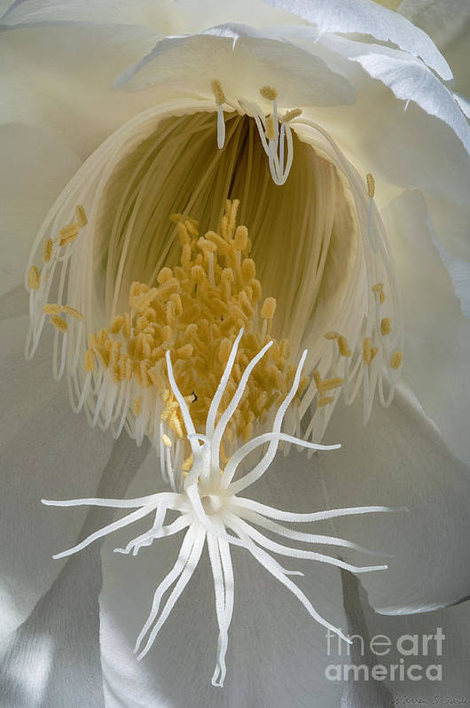 Cereus Print featuring the photograph Night-blooming Cereus Deep 8 by Warren Sarle