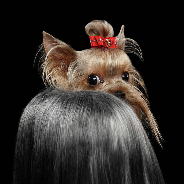 Closeup Art Print featuring the photograph Closeup Yorkshire Terrier Dog, long groomed Hair Pity Looking back by Sergey Taran
