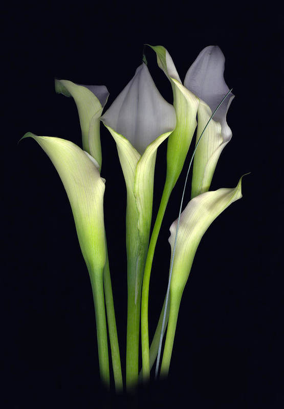 Calla Art Print featuring the digital art Bouquet of Callas by Sandi F Hutchins
