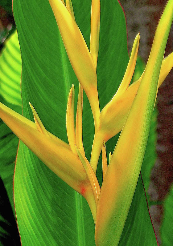 Hawaii Flowers Art Print featuring the photograph Hawaii Golden Torch by James Temple