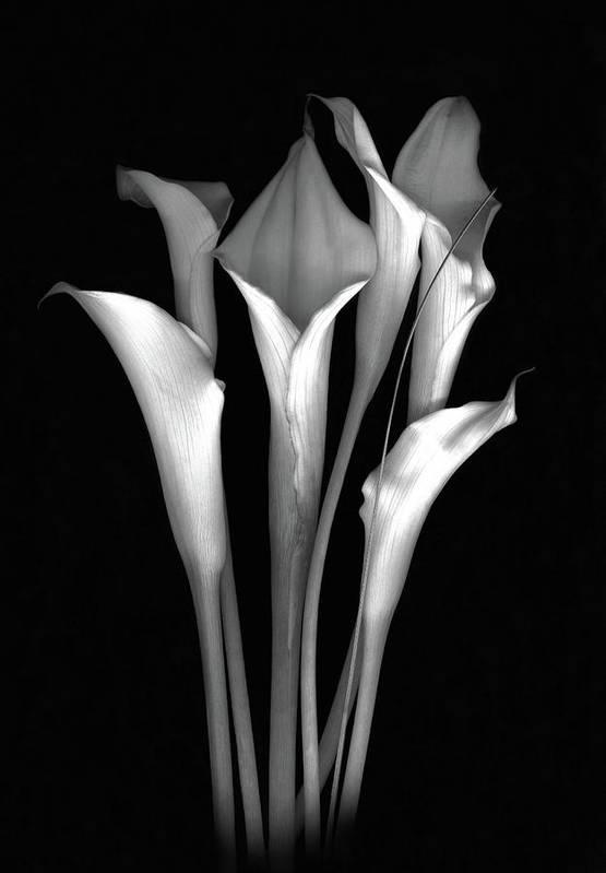 Calla Art Print featuring the photograph Calla White and Black by Sandi F Hutchins