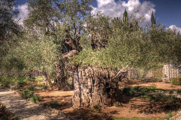 Garden of Gethsemane by Don Wolf