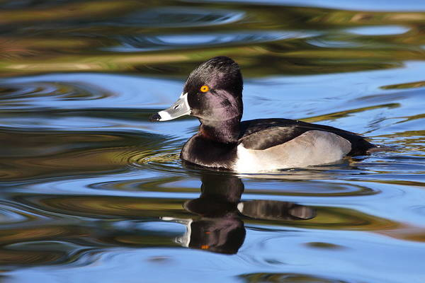 Ring-necked Duck Art Print featuring the photograph Rings around Ring-necked Duck by Andrew McInnes